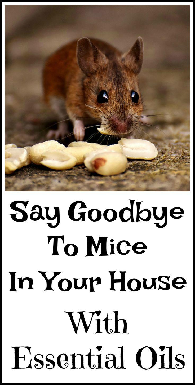 best 25 diy mice repellent ideas on pinterest peppermint oil