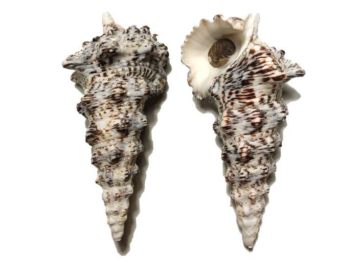 Cerithium nodulosum, Low Island, QLD (59.2g)