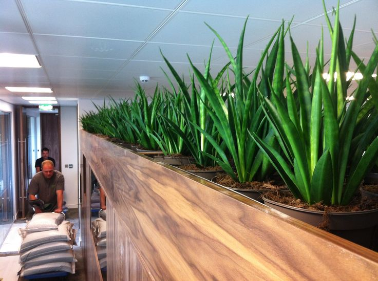 Sanseveria planted in bespoke cabinet to create Greenwall