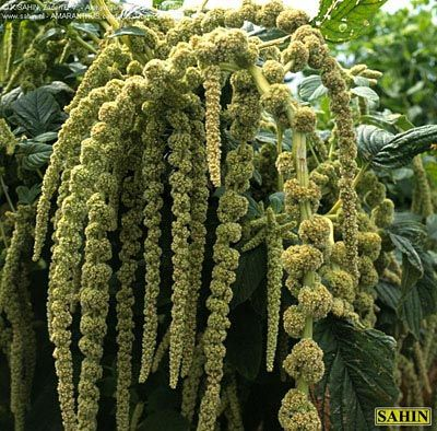 85 Best Images About Amaranthus Wedding Flowers On