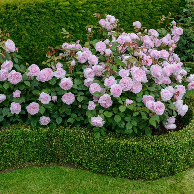 17 Best ideas about Roses Garden on Pinterest Roses Growing
