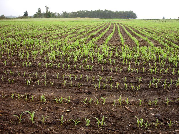 cultivo maíz
