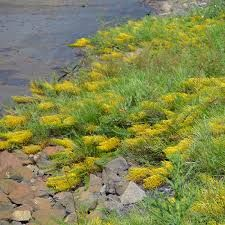 Image result for native grevillea ground covers