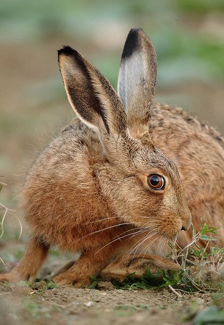tiny-creatures: Brown Hare intimate portrait Lepus europaeus by mikejrae on Flickr.