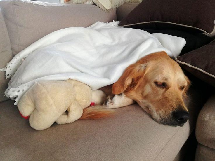 Sleeping Beauty #biancathedog #goldenretriever #mylove