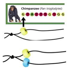 In this craft-based activity, learners make DNA sequence bracelets that carry the code of an organism such as a human, trout, chimpanzee or butterfly. This activity reinforces the principle of complementary base pairs as learners are given one strand of the sequence and they have to match up the other strand correctly.