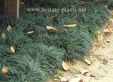 Ophiopogon japonicus - mondo grass, under the east PL hedge