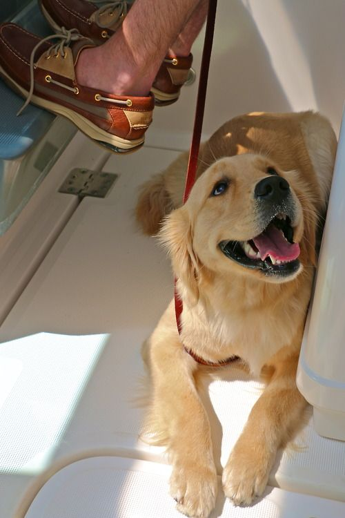 A golden retriever puppy sperry's on a boat….Doesn't get more American than this.