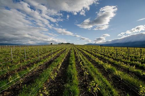 Vineyard - Satigny, France