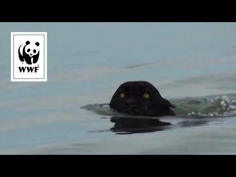 Schwarzer Jaguar am Amazonas entdeckt - YouTube