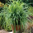 Carex Seed - Drooping Sedge Ornamental Grass Seed. I am so using this next year!!