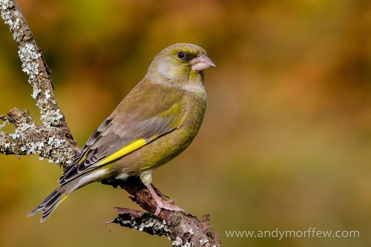 Listen to Greenfinch on british-birdsongs.uk, which is a comprehensive collection of English bird songs and bird calls.