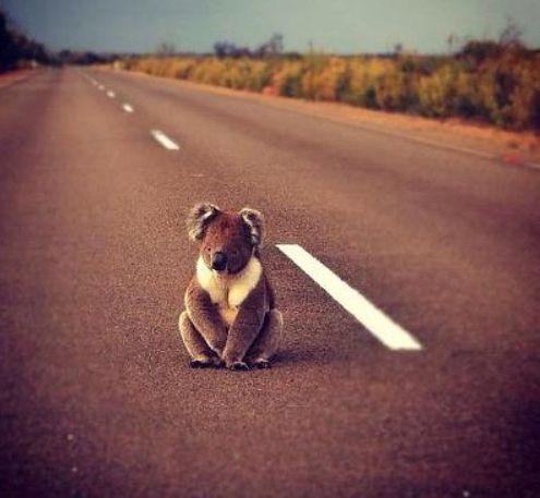 Watch out for our fury friends! Hitch-hiking koala #koala #australia #holidays #australian animals