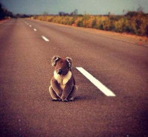 Koala on the road. Australia