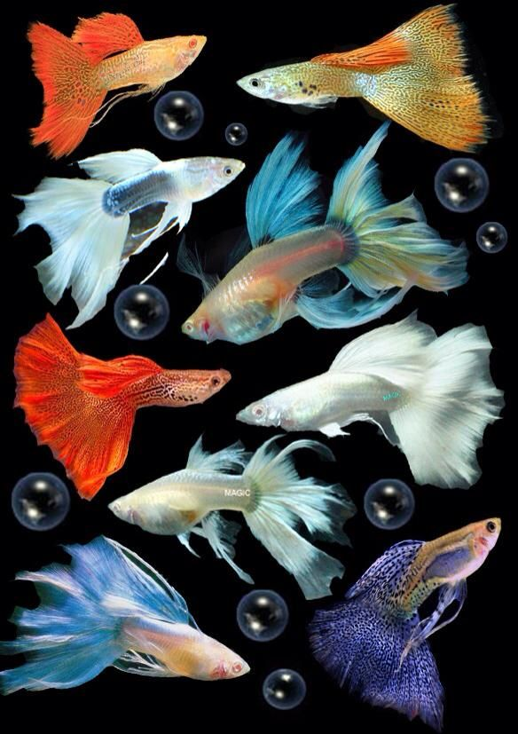 These are fancy male guppies i have five of them in my for Names for pet fish