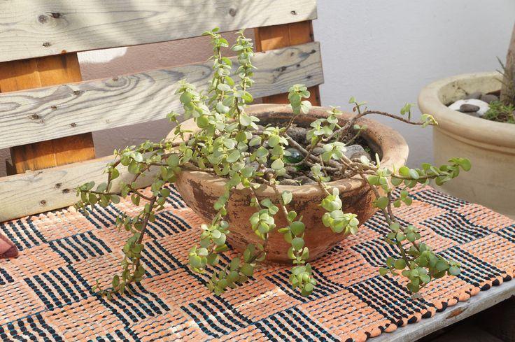 Un diseño muy especial de La planta de la abundancia. +2 años de preparación +Tierra nutrida +Semi Interior +Sombra/luz natural +Se riega cada 2 días $280