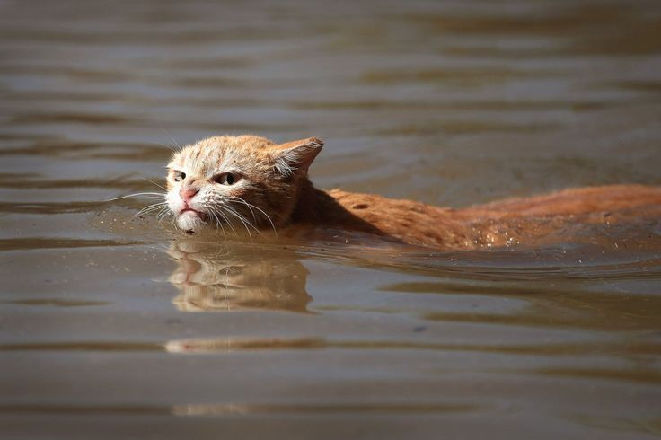 Annoyed Cat Swimming Through Hurricane Harvey Floodwaters Becomes Sassy Symbol of Resilience