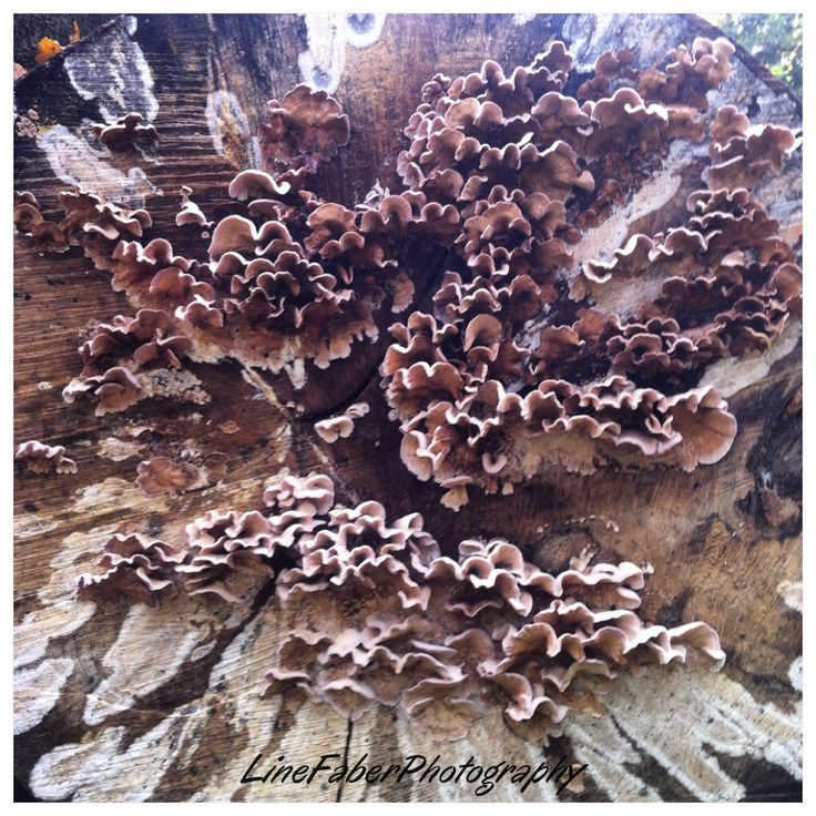 Beautiful pattern of mushrooms on a cutdown tree.  www.linefaberphotography.com