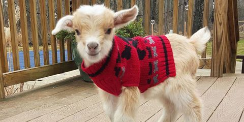 Goatsweater Baby Goats In Sweaters Goats In Sweaters Baby Goats