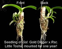 Mounted orchids, the natural way to grow orchids.