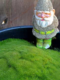 "Scleranthus biflorus  ""Australian Astroturf""    little tuffet of soft green moss, this groundcover forms a mound about 3"" high & 1' wide. And this guy keeps his green even when it is dry, sunny & hot. Native to Australia, it has practically invisible little white flowers but this plant is all about the foliage. Looks great clinging to stones in the garden, its form hugs the hard edges nicely."