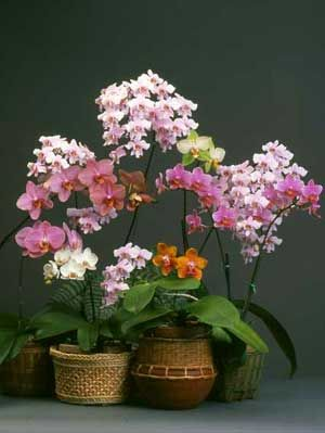 "American Orchid Society:  Phalaenopsis for Beginners ""culture sheet"""