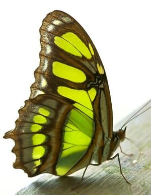 Pretty brown, black and light green butterfly.