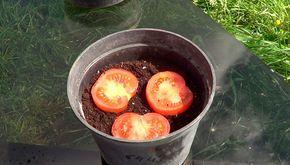 En guia de jardineria nos encanta experimentar, hace unos dias me propusieron a ver si era capaz de germinar un tomate pero no un tomate cultivado por nosotros, sino intentar germinar un tomate de los que compramos en el supermercado. La verdad que la idea suponía un gran reto y sobre todo una muy buena idea para poder probar de hacerlo en casa, así que hoy os traemos el resultado. Muchos productos que compramos en el supermercado nos sirven para poder usar sus semillas y poder sembrar…
