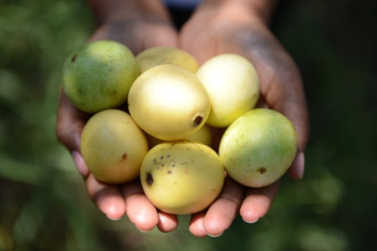 how to eat marula fruit