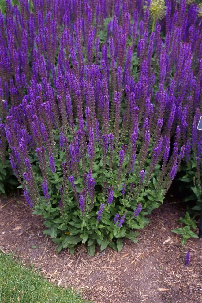 salvia nemorosa purple punch pinterest. Black Bedroom Furniture Sets. Home Design Ideas