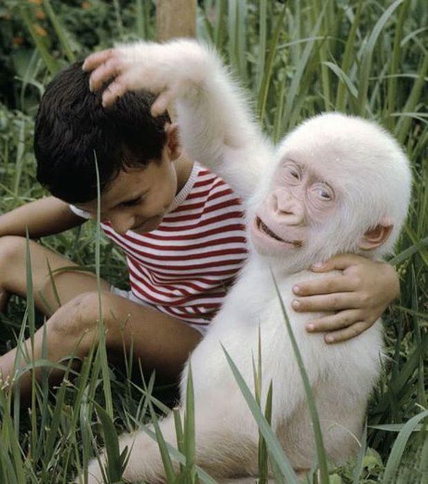 Filhotinho de gorila albino brincando com um amigo humano