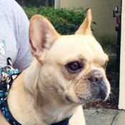French Bulldog Rescue Network :: Bigtime Bert in FL