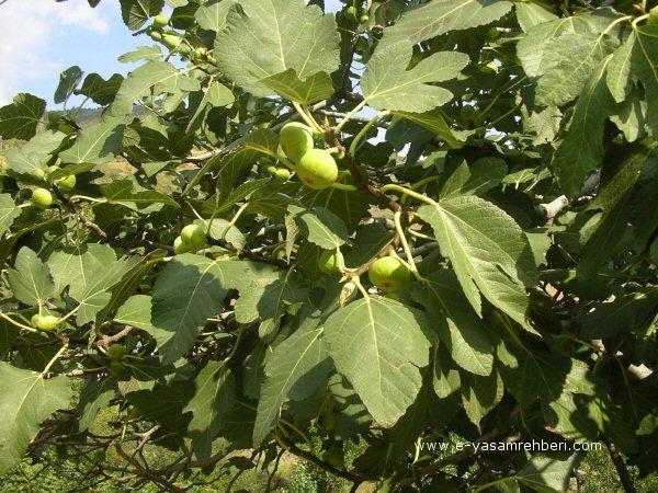 İncir, İncir Ağacı, Fig, (Ficus carica)