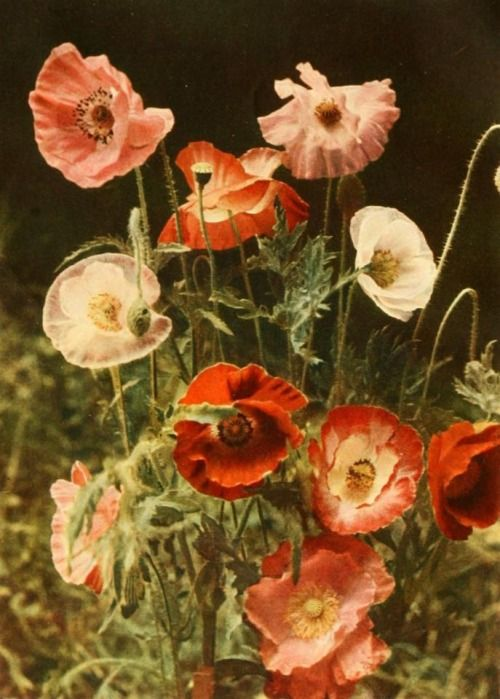 """fawnvelveteen:  """" Autochrome from 'The Book of Hardy Flowers by H H Thomas, published 1915  """""""
