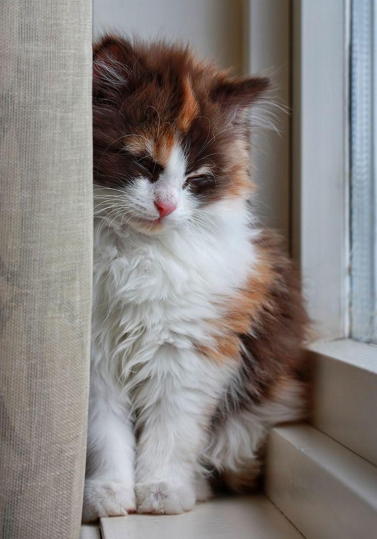 fluffy calico cat - photo #6