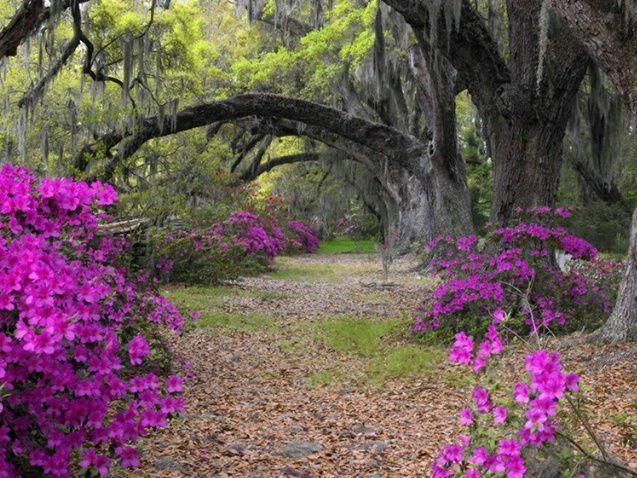 Magnolia gardens  Charleston, NC