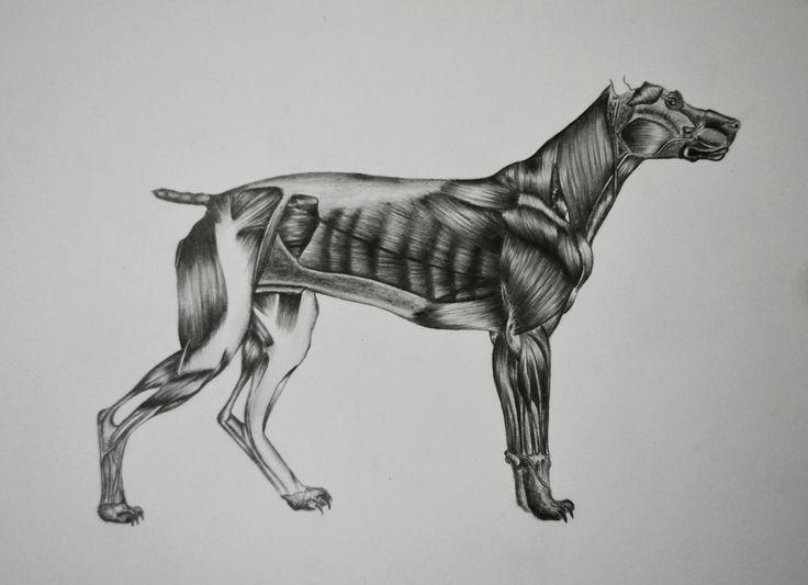 Dog Anatomy Draw