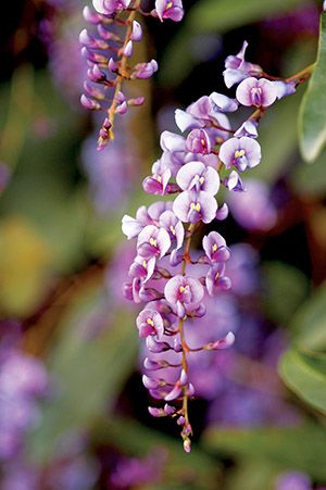 lilac vine, Hardenbergia violacea. Vigorous evergreen vine can be used to cover an arbor, pergola or wall; small, purple, pea-like flowers bloom in late winter to early spring; other cultivars have white or pink flowers. Full sun, part shade. Low to very low water needs. Blooms Spring and Winter.