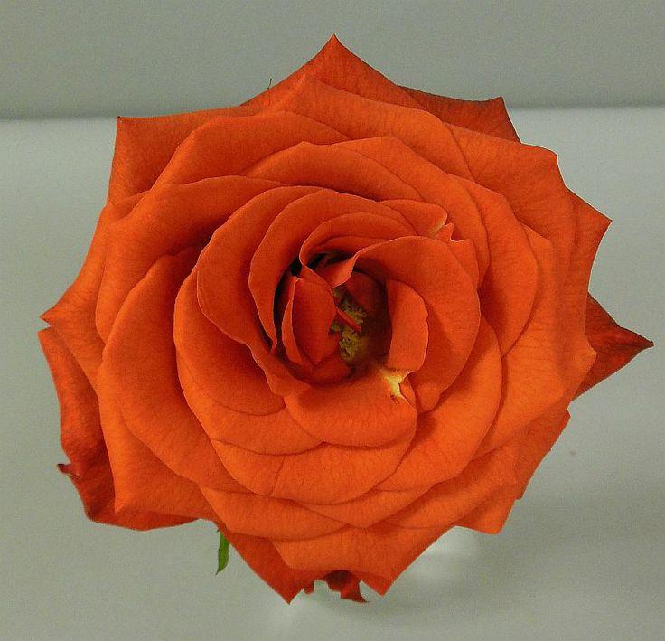 163 best images about standard roses on pinterest. Black Bedroom Furniture Sets. Home Design Ideas