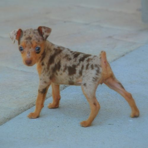 chocolate merle min pin - Google Search My dream dog!!