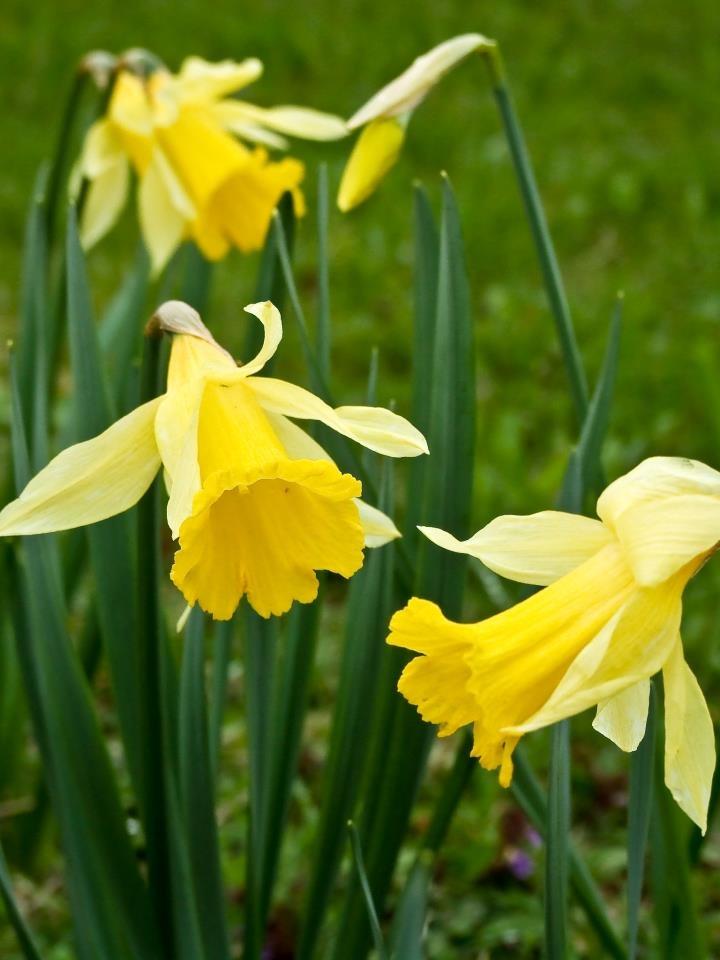 Czy wiecie, że... żonkile to potoczna nazwa ogrodowych narcyzów? W przyrodzie występuje wiele gatunków tych wdzięcznych kwiatów. Jednak wszyscy zwykle wskazują te o żółtych płatkach - tradycyjnie kojarzone z wiosną:)
