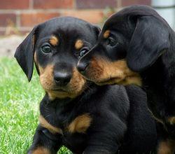 black and tan doxie puppies #cute #dachshund