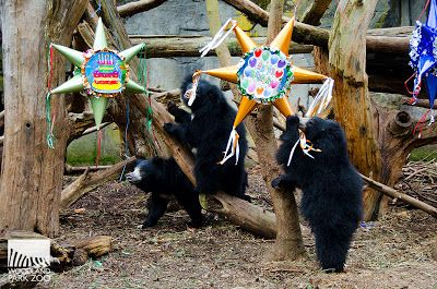 Birthday pinatas for the birthday sloth bears! I loved this zoo. First time seeing Sloth Bears and it was amazing