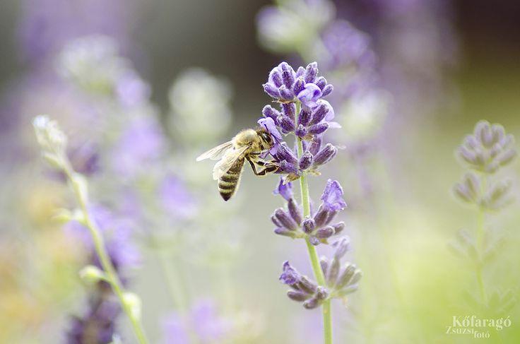 bee & lavender portrait by kofaragozsuzsiphotos