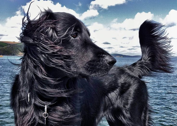 Denzil the dog (Cornwall) #flat coat retriever