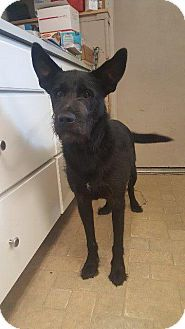 Angola, IN - Labrador Retriever/Airedale Terrier Mix. Meet Hank, a dog for adoption. http://www.adoptapet.com/pet/18527217-angola-indiana-labrador-retriever-mix