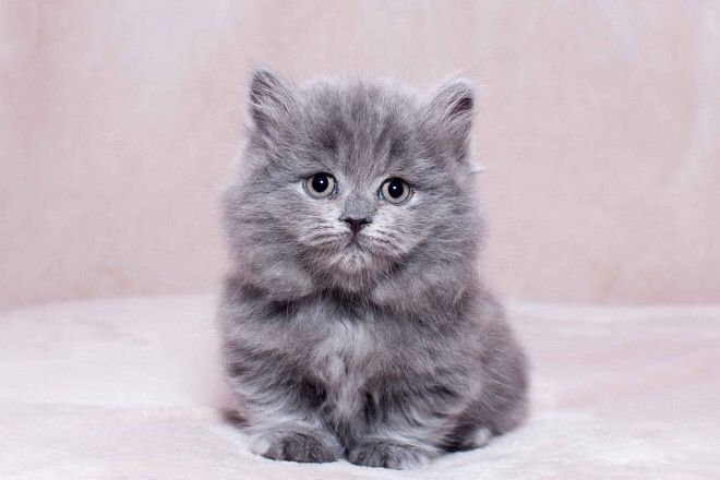 Romio Munchkin In A Blue Color Highland Male Munchkin Kitten For Sale In Florida United States Prof Munchkin Kittens For Sale Munchkin Kitten Munchkin Cat