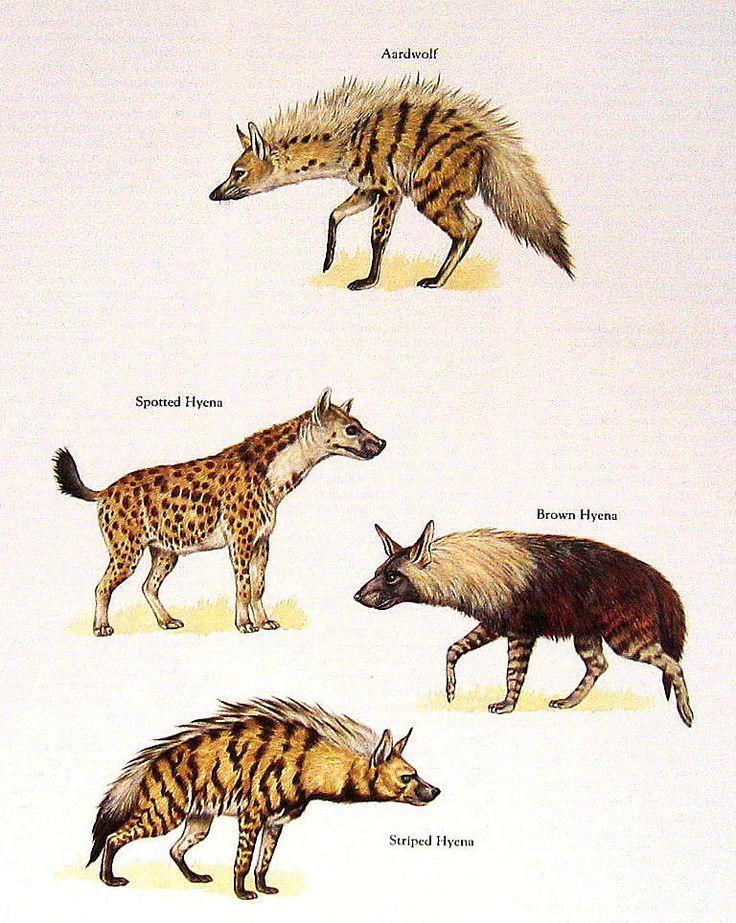 four types of hyenas striking striped hyenas pinterest