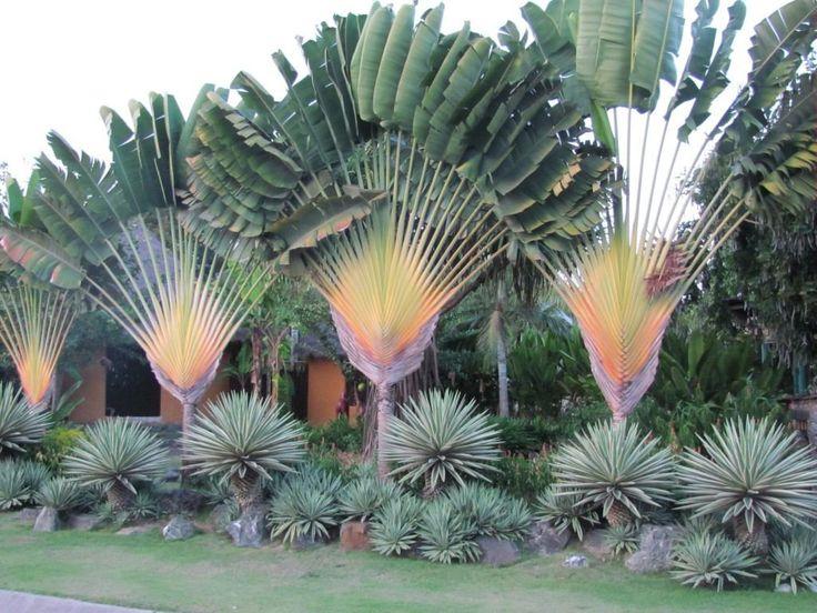 jardim com ravenala madagascariensis - árvore do viajante.