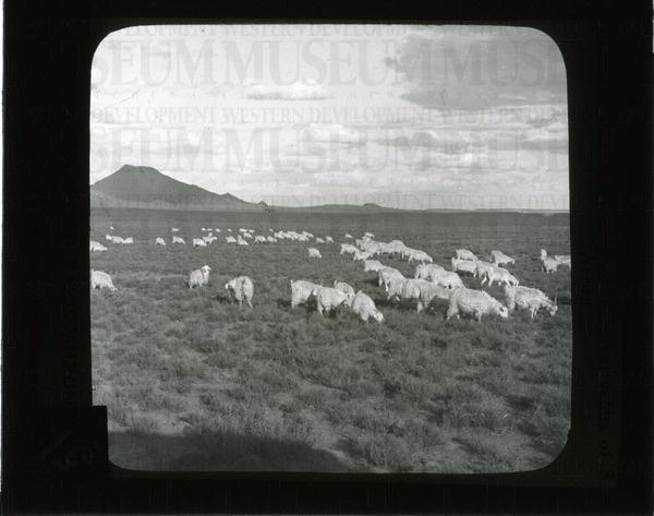 Sheep grazing on the great veldts of S. Africa | saskhistoryonline.ca
